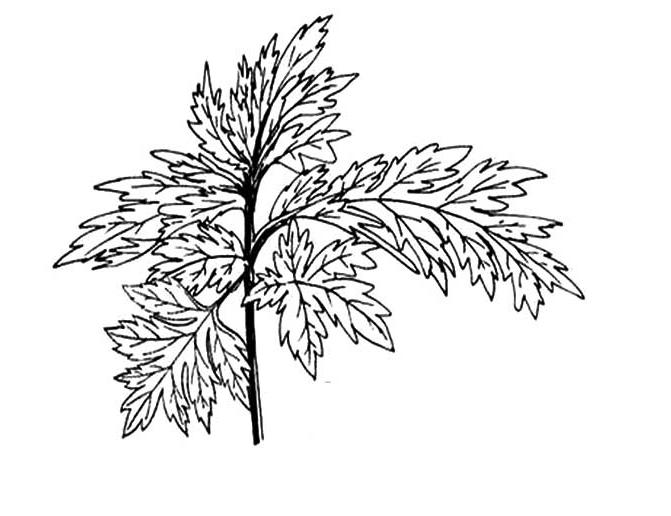 艾草的画法_植物简笔画-e学堂