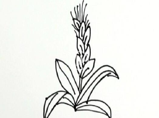 简笔画之小麦_植物简笔画-e学堂