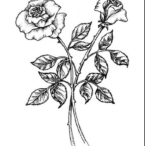 两朵盛开的玫瑰_植物简笔画-e学堂